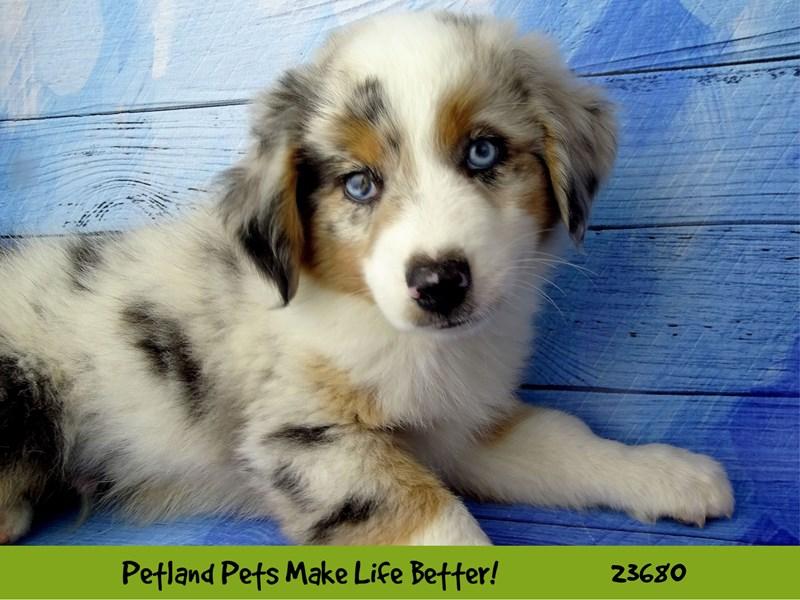 Miniature American Shepherd-DOG-Male-Blue Merle-2826225-Petland Naperville