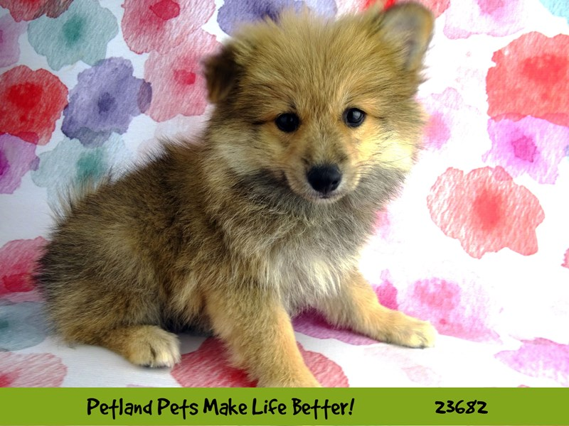 Pomeranian-Female-Sable / White-2826219-Petland Aurora