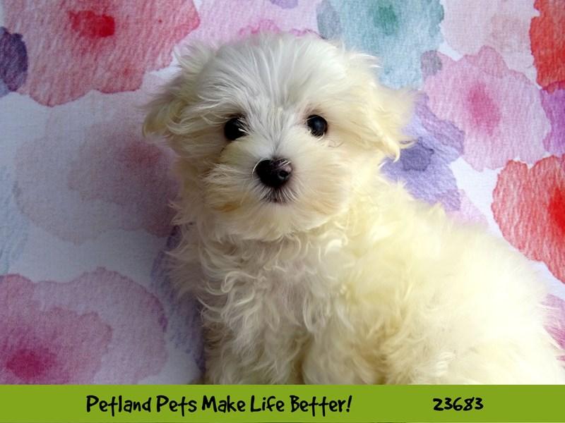 Maltese-DOG-Male-White-2826252-Petland Aurora