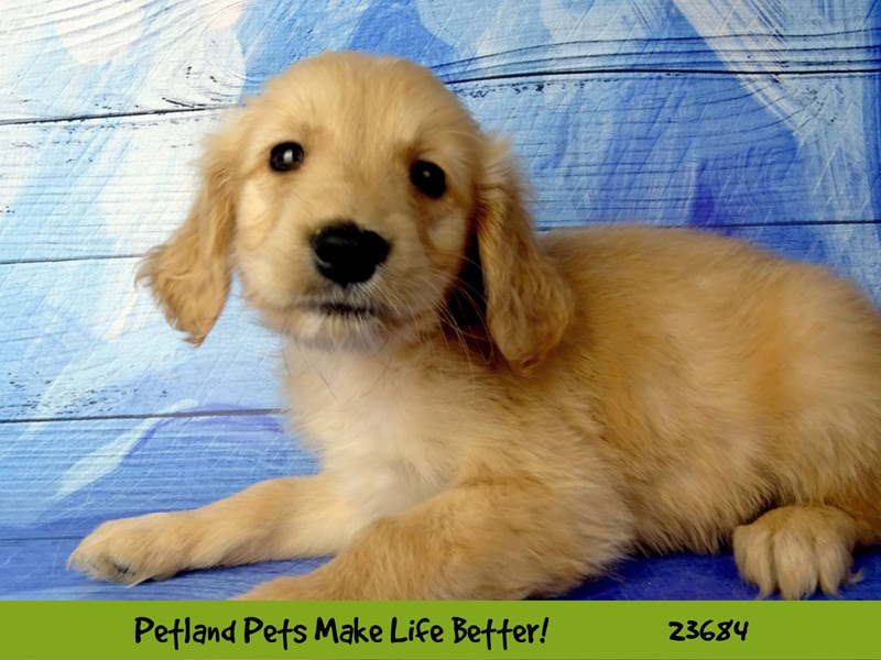 Golden Retriever-Male-Golden-2833316-Petland Naperville