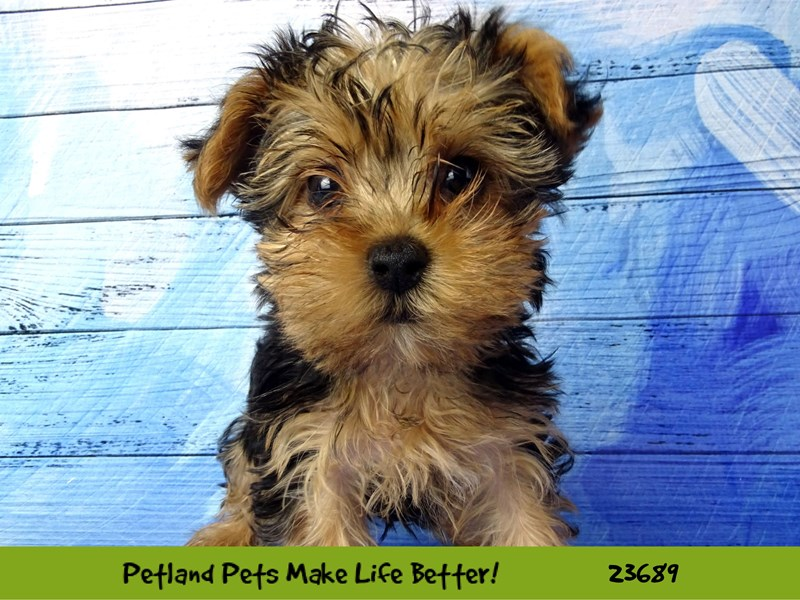Yorkshire Terrier-Female-Black / Tan-2833333-Petland Naperville