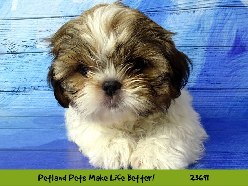 Shih Tzu-Female-Brown / White-2833334-Petland Naperville