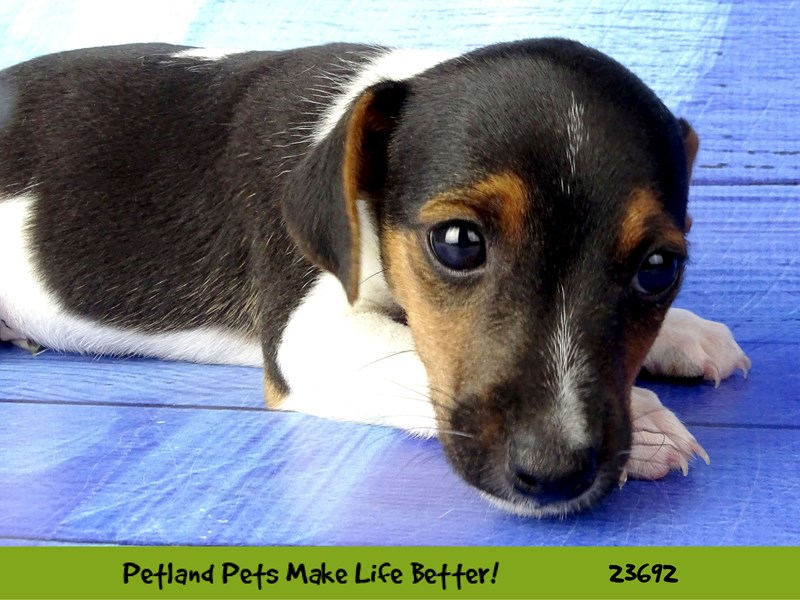 Jack Russell Terrier-Male-Black Tan / White-2833335-Petland Naperville