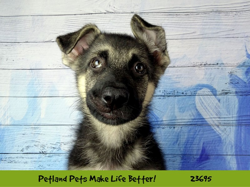 German Shepherd Dog-Male-Black / Silver-2833337-Petland Naperville