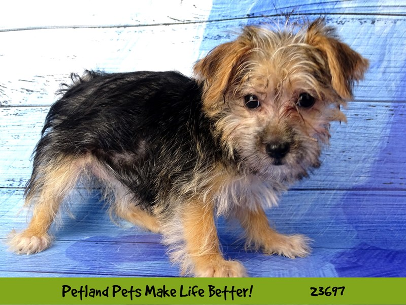 Morkie-Female-Black / Tan-2835203-Petland Naperville