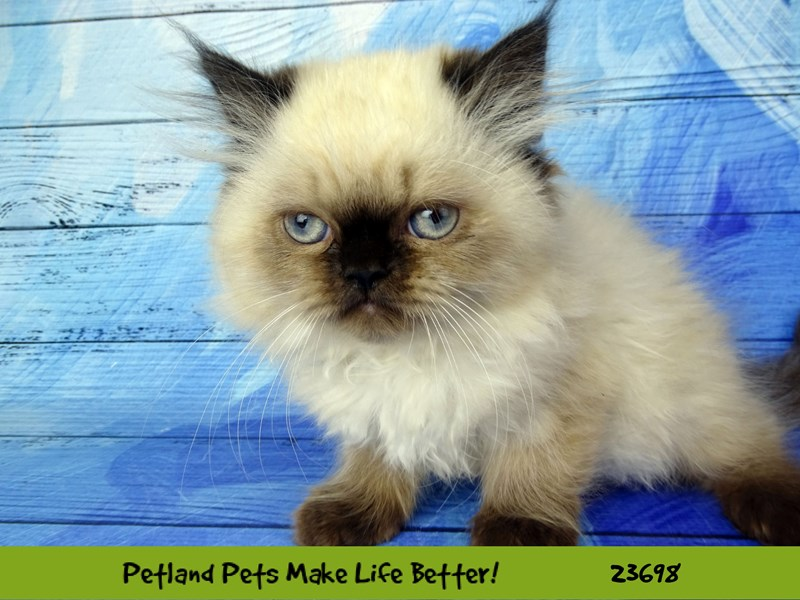 Persian-CAT-Female-Seal Point-2835205-Petland Naperville