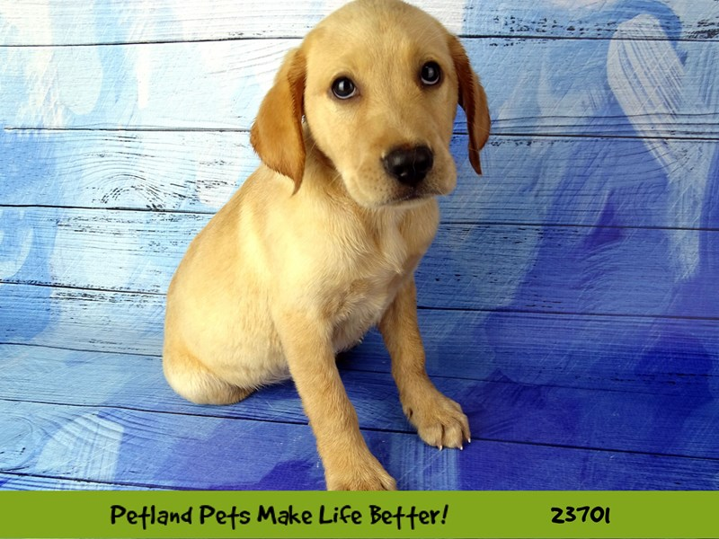 Labrador Retriever-Female-Yellow-2835204-Petland Naperville