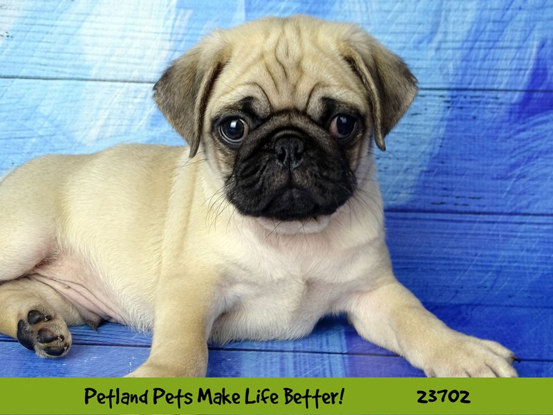 Pug-Male-Fawn-2840983-Petland Naperville