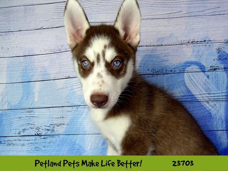 Siberian Husky-Male-Red and White-2841108-Petland Naperville