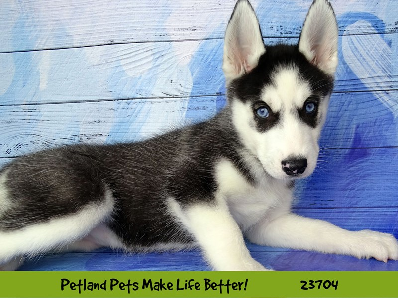 Siberian Husky-Female-Black and White-2841139-Petland Naperville