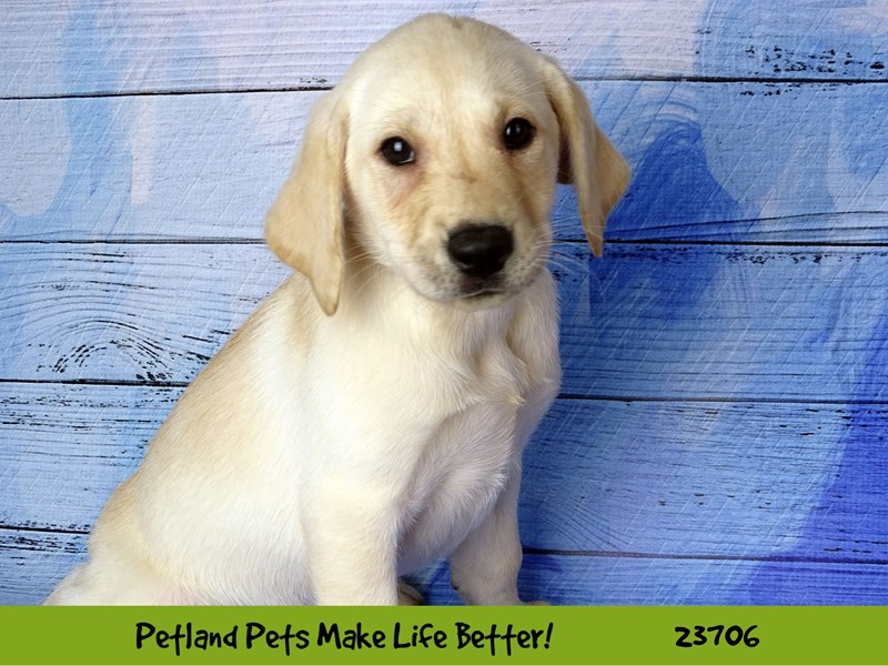 Labrador Retriever-Female-Yellow-2841187-Petland Naperville