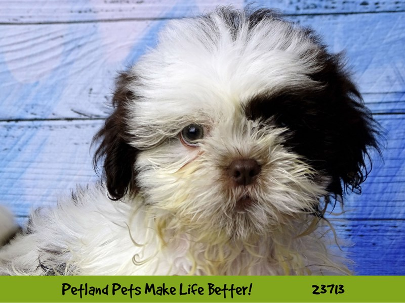 Shih Tzu-Male-Brown / White-2840962-Petland Naperville