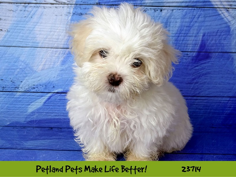 Maltese-Female-White-2840967-Petland Naperville