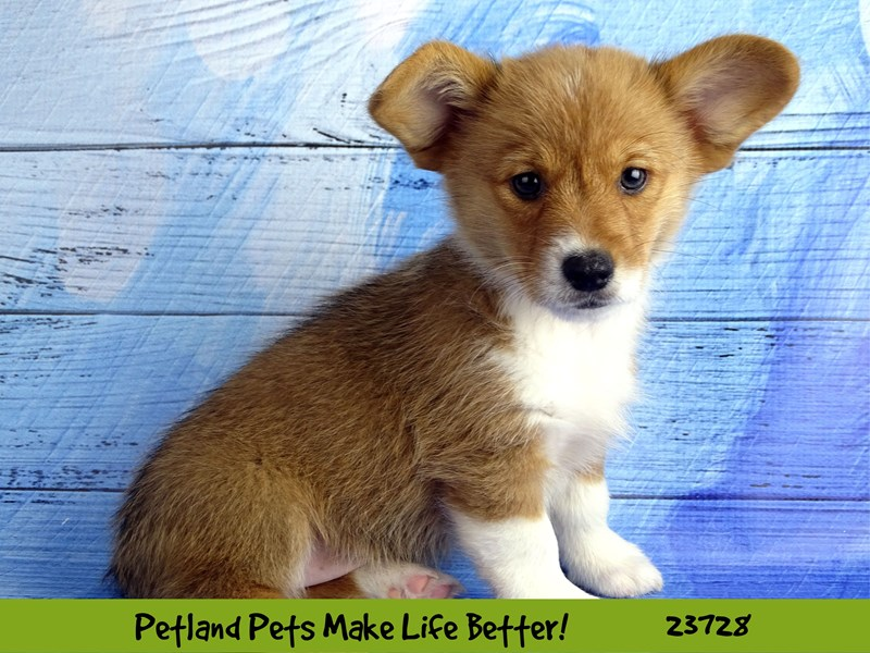 Pembroke Welsh Corgi-Female-Red / White-2848474-Petland Naperville