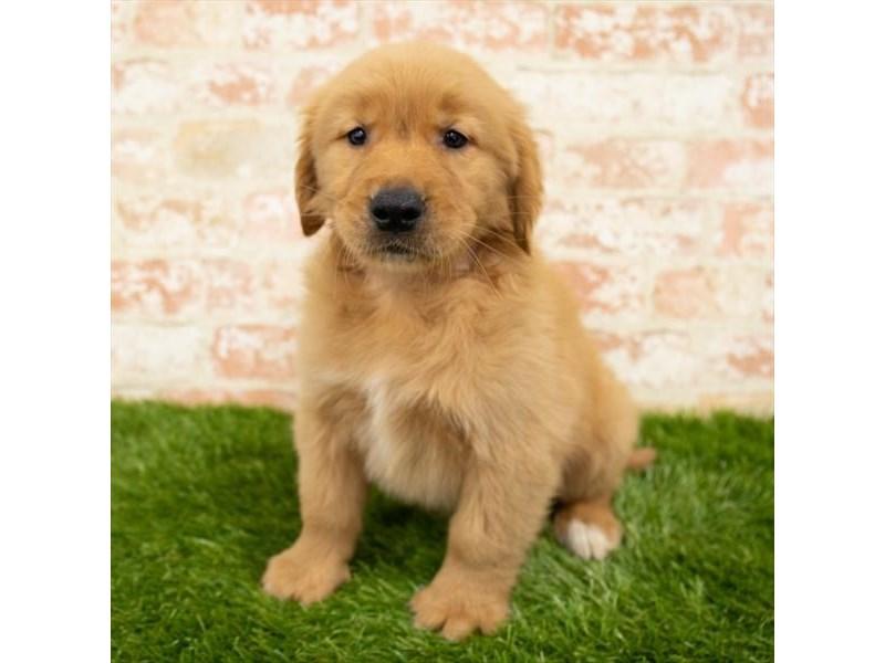 Golden Retriever-DOG-Male-Golden-2850321-Petland Naperville