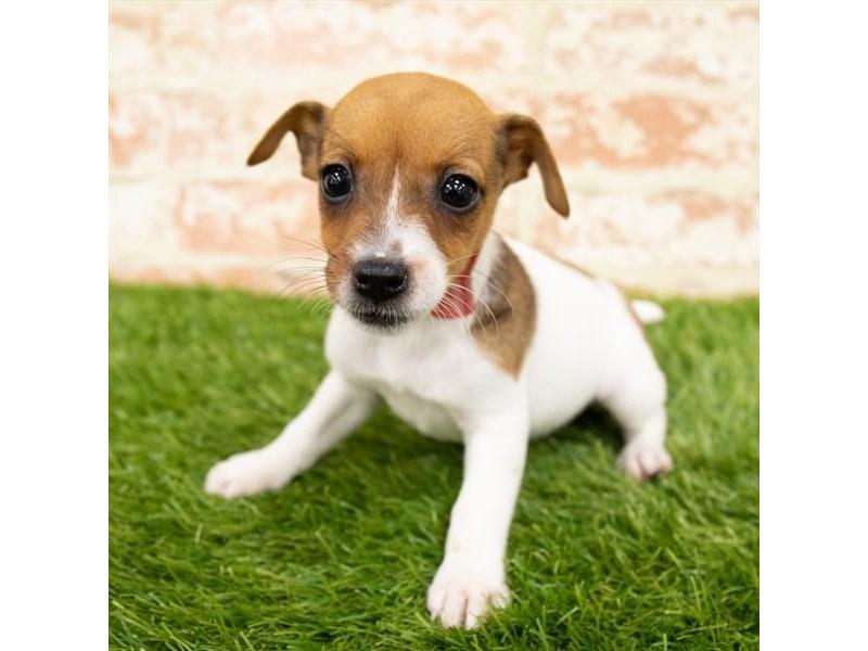 Jack Russell Terrier-Female-White-2850323-Petland Aurora
