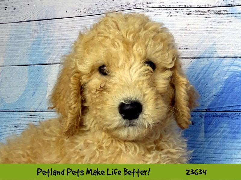 Goldendoodle/Poodle-DOG-Female-Apricot-2810222-Petland Naperville