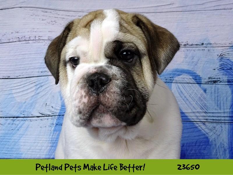 Bulldog-Male-Fawn-2812255-Petland Naperville