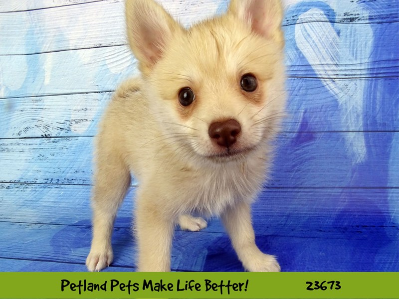 Pomklee-DOG-Male-Light Red-2826248-Petland Naperville