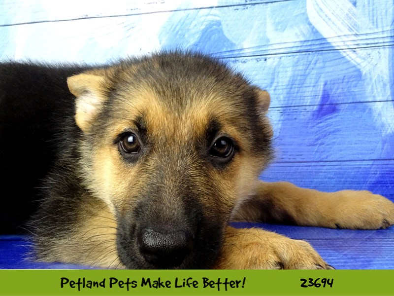 German Shepherd Dog-DOG-Female-Black / Tan-2833336-Petland Naperville