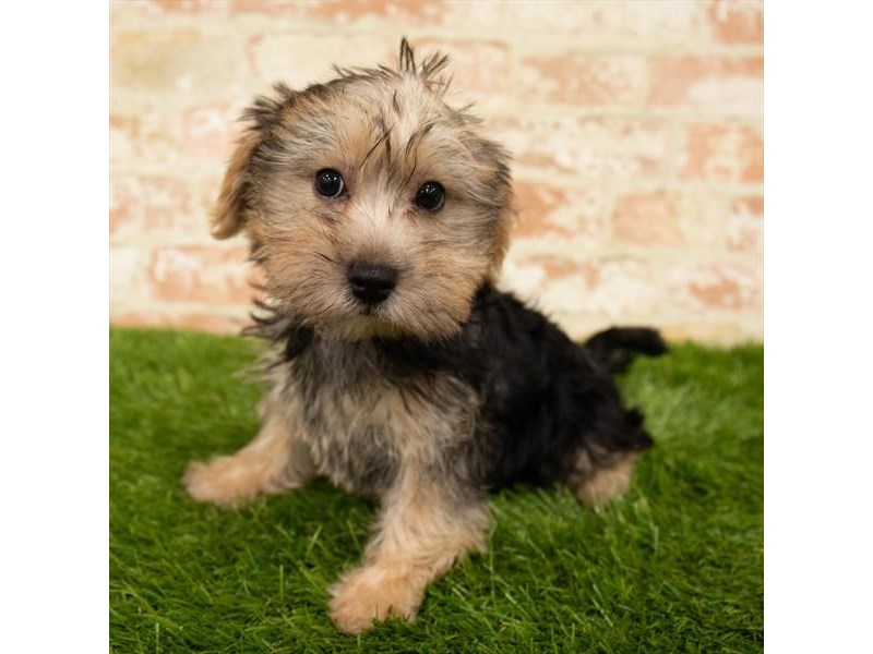 Morkie-Male-Black / Tan-2835844-Petland Naperville