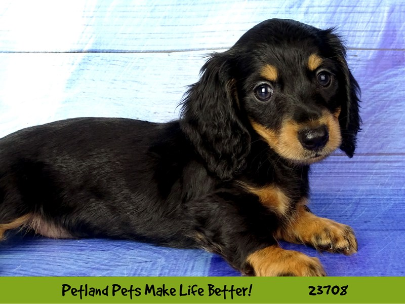 Dachshund-DOG-Male-Black / Tan-2840966-Petland Naperville
