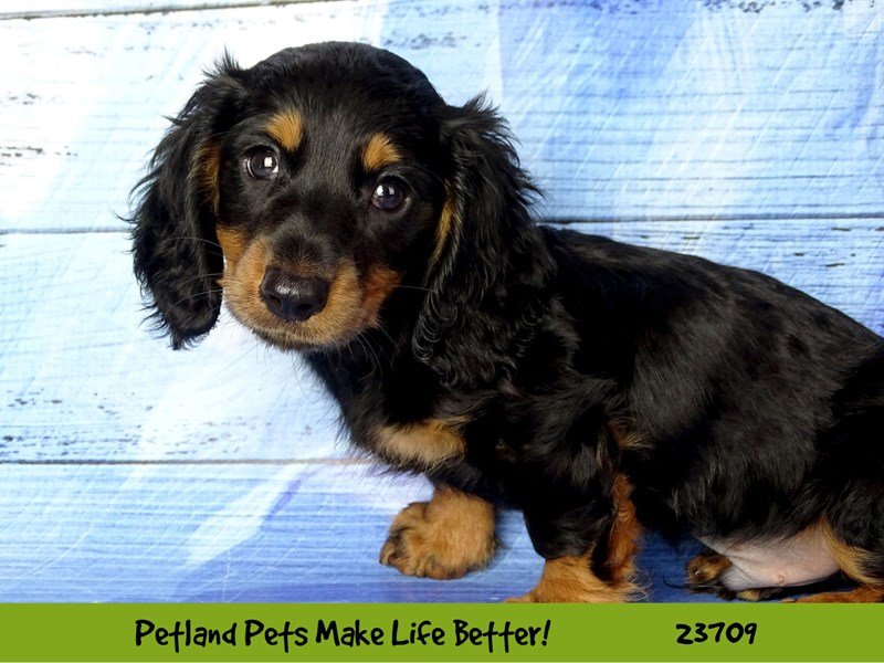 Dachshund-Female-Black / Tan-2840964-Petland Naperville