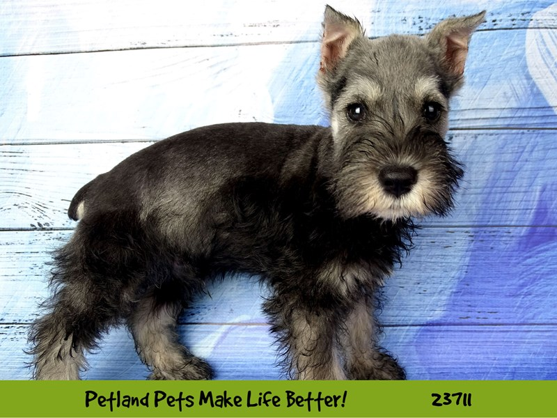 Miniature Schnauzer-Male-Salt / Pepper-2840963-Petland Naperville