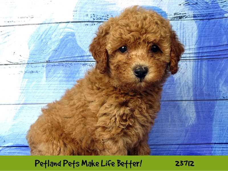 Poodle-Female-Red-2840970-Petland Naperville