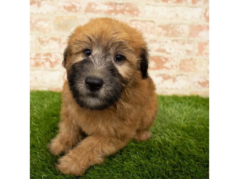 Soft Coated Wheaten Terrier-Male-Wheaten-2843172-Petland Naperville