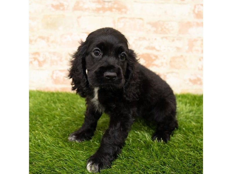 Cocker Spaniel-Female-Black-2843191-Petland Naperville