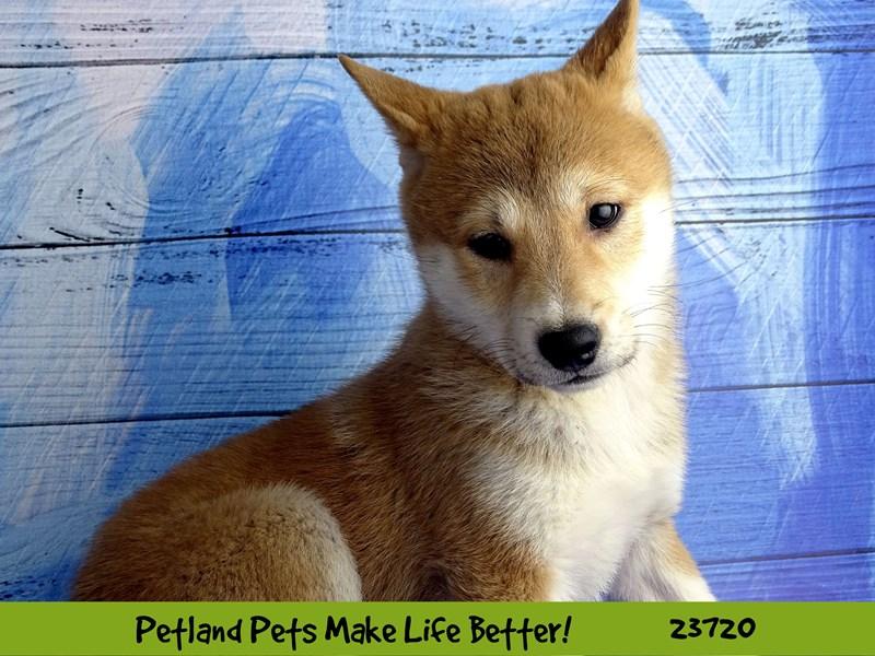 Shiba Inu-DOG-Female-Red-2848366-Petland Naperville