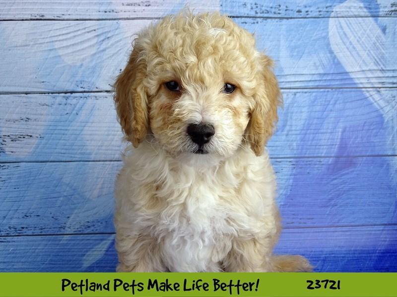 2nd Generation Mini Goldendoodle-DOG-Male-Red-2848446-Petland Naperville