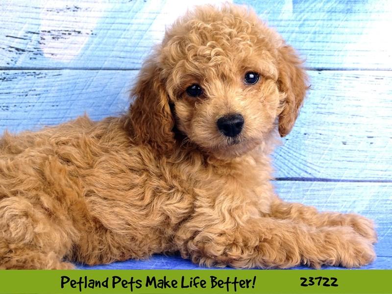 2nd Generation Mini Goldendoodle-DOG-Female-Red-2848524-Petland Naperville