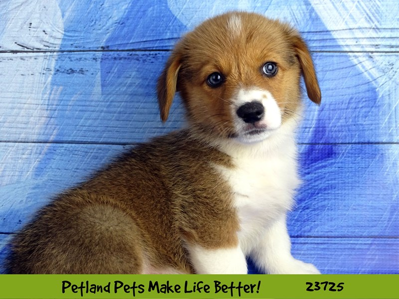Pembroke Welsh Corgi-Male-Red / White-2848477-Petland Naperville