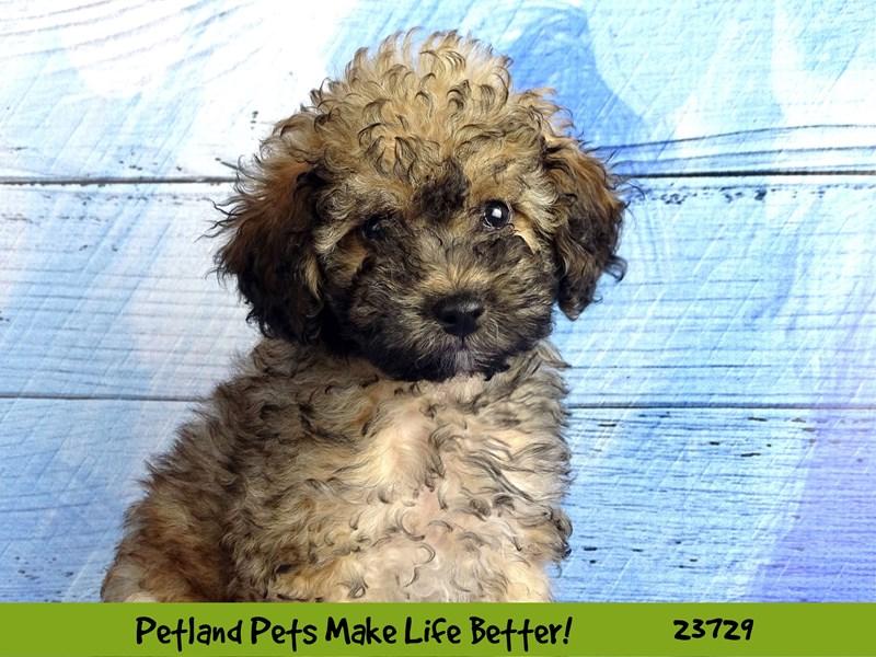 Poodle-Male-Sable-2848483-Petland Naperville