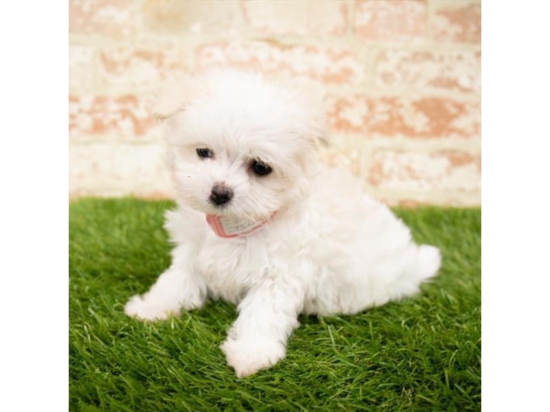 Maltese-Female-White-2850316-Petland Naperville
