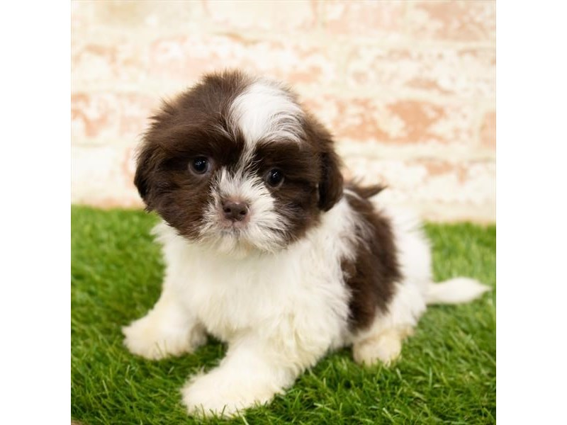 Shih Tzu-Female-Chocolate / White-2850325-Petland Naperville