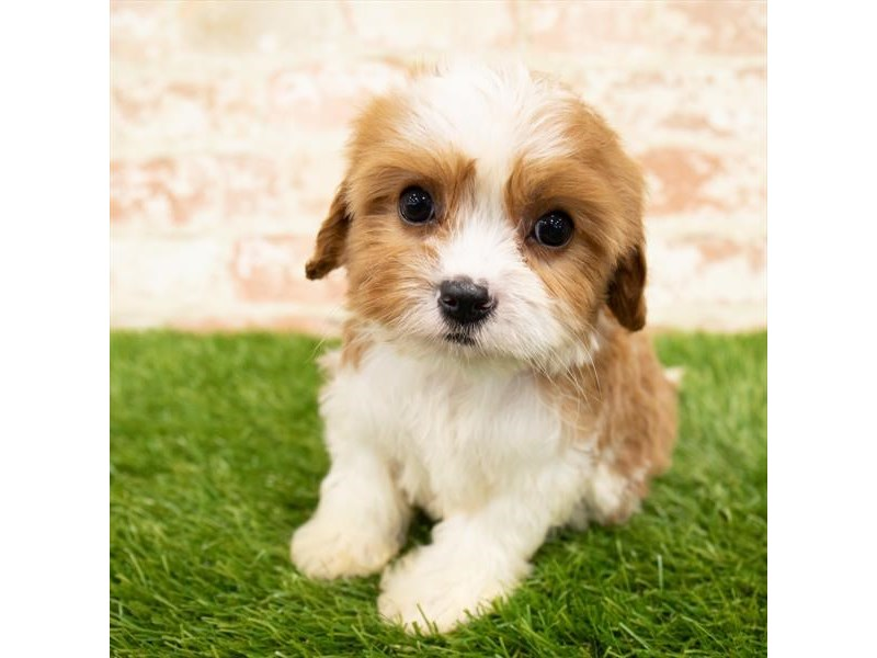Cavapoo-DOG-Female-Blenheim-2850328-Petland Naperville
