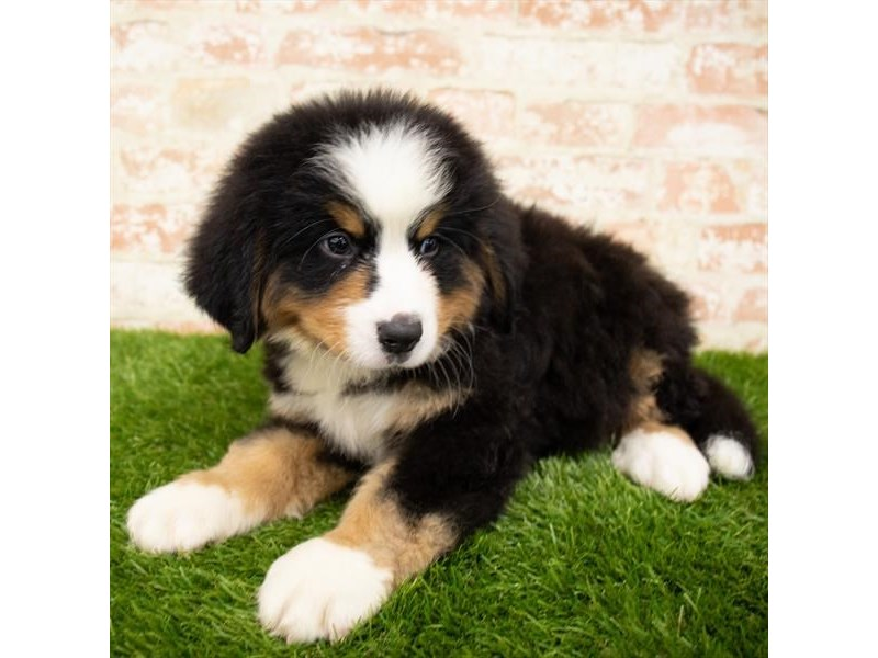 Bernese Mountain Dog-Male-Black Tan / White-2850334-Petland Naperville