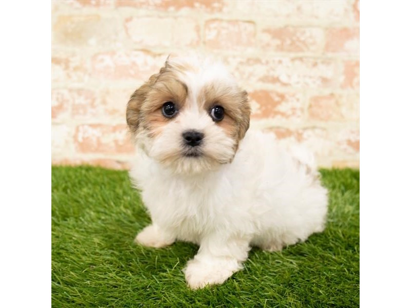 Teddy Bear-Female-Gold / White-2850370-Petland Naperville