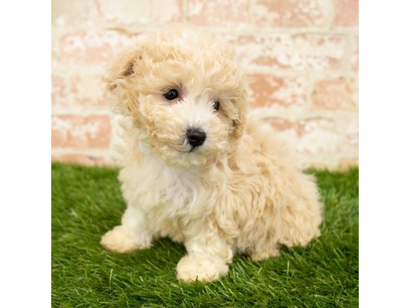 Maltipoo-DOG-Female-Cream-2850372-Petland Naperville