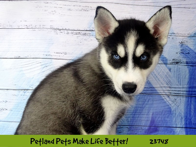 Siberian Husky-Female-Black and White-2855932-Petland Naperville