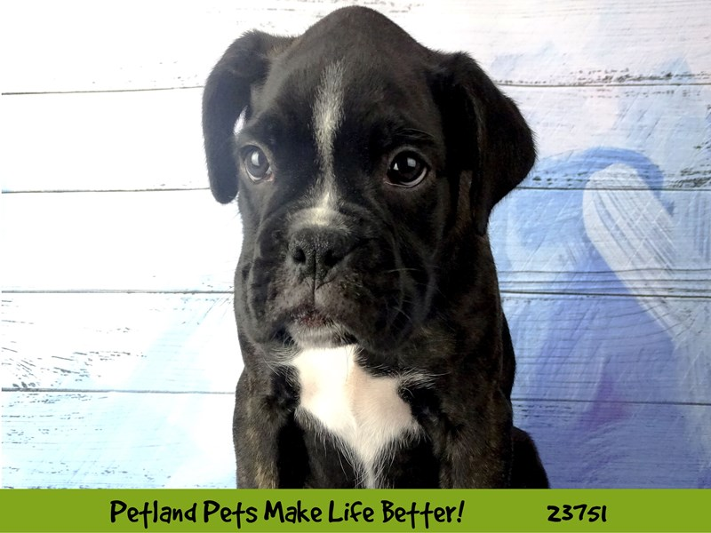 Boxer-Male-Brindle / White-2856518-Petland Naperville