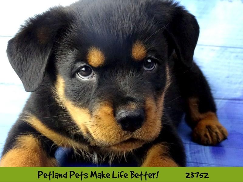 Rottweiler-Male-Black / Mahogany-2856517-Petland Naperville