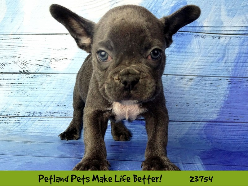 French Bulldog-Male-Blue-2856441-Petland Naperville