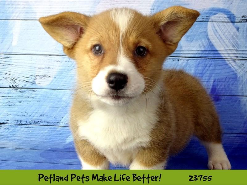Pembroke Welsh Corgi-DOG-Male-Red / White-2856437-Petland Naperville