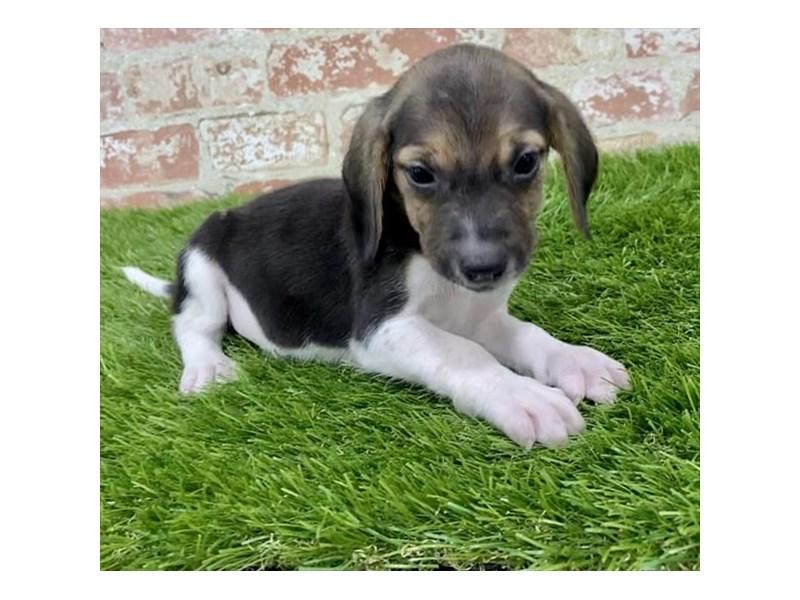 Beagle-Female-Black White / Tan-2857810-Petland Naperville