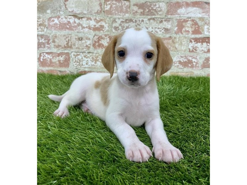 Beagle-Male-Lemon / White-2857811-Petland Naperville