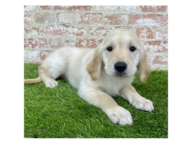 Golden Retriever-Female-Golden-2857816-Petland Naperville